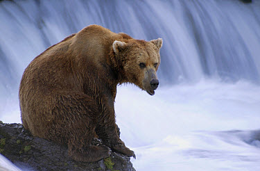 Grizzly Bear (Ursus arctos horribilis) sitting on outcrop at Brooks River, Katmai National Park, Alaska  -  Matthias Breiter