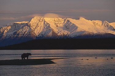 Grizzly Bear (Ursus arctos horribilis) on landspit silhouetted against Mt Katolinat, Alaska  -  Matthias Breiter