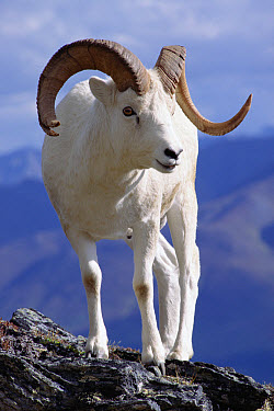 Dall's Sheep (Ovis dalli) ram portrait on rock outcrop, Denali National Park and Preserve, Alaska  -  Matthias Breiter
