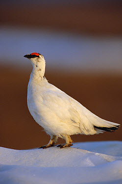 Rock Ptarmigan (Lagopus muta) male in winter plumage, Arctic National Wildlife Refuge, Alaska  -  Matthias Breiter