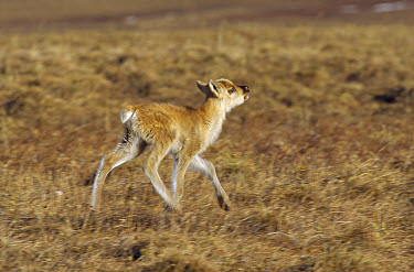 Caribou (Rangifer tarandus) calf running on the tundra, Arctic National Wildlife Refuge, Alaska  -  Matthias Breiter