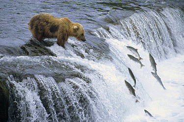 Grizzly Bear (Ursus arctos horribilis) fishing for spawning salmon at a waterfall, Katmai National Park, Alaska  -  Matthias Breiter