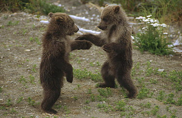 Grizzly Bear (Ursus arctos horribilis) cubs playing, Katmai National Park, Alaska  -  Matthias Breiter