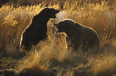 Grizzly Bear (Ursus arctos horribilis) mother defending her offspring from another bear, Katmai National Park, Alaska  -  Matthias Breiter