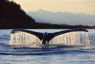 Humpback Whale (Megaptera novaeangliae) tail, near Barlow Islands, Juneau, Alaska  -  Matthias Breiter