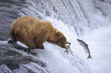 Grizzly Bear (Ursus arctos horribilis) adolescent catching salmon above Brooks Falls, Katmai National Park, Alaska  -  Matthias Breiter