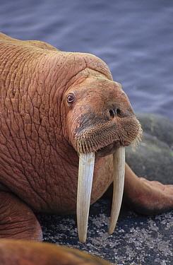 Pacific Walrus (Odobenus rosmarus divergens) male portrait, Round Island, Alaska  -  Matthias Breiter