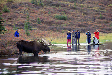 Alaska Moose (Alces alces gigas) bull and tourists at Wonder Lake, Denali National Park and Preserve, Alaska  -  Matthias Breiter