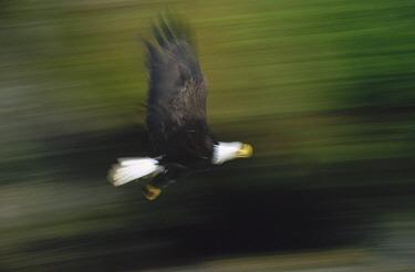 Bald Eagle (Haliaeetus leucocephalus) flying in temperate rainforest gorge, Anan Creek, Alaska  -  Matthias Breiter