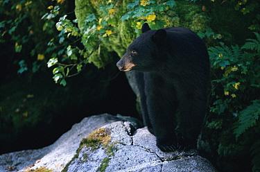 Black Bear (Ursus americanus) on rock, Anan Creek, Alaska  -  Matthias Breiter