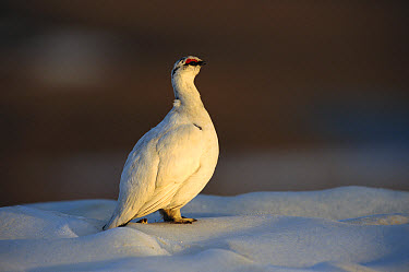 Rock Ptarmigan (Lagopus muta) male perched on snow mountain, Arctic National Wildlife Refuge, Alaska  -  Matthias Breiter