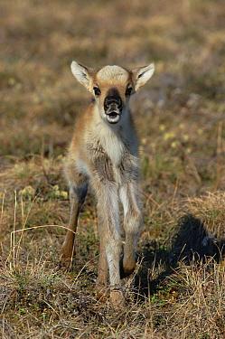 Caribou (Rangifer tarandus) lost calf calling for mother, Arctic National Wildlife Refuge, Alaska  -  Matthias Breiter