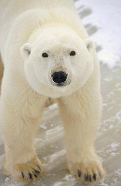 Polar Bear (Ursus maritimus) adult portrait, Churchill, Manitoba, Canada  -  Matthias Breiter