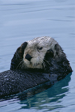 Sea Otter (Enhydra lutris) resting on water, Seward, Alaska  -  Matthias Breiter