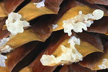 Sugar Pine (Pinus lambertiana) cone with sap, Sequoia National Park, California  -  Matthias Breiter