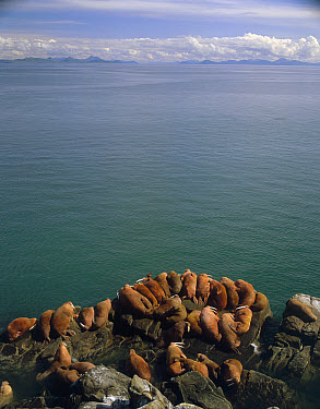 Pacific Walrus (Odobenus rosmarus divergens) overlooking sea, Pacific Walrus Islands State Game Sanctuary, Alaska  -  Matthias Breiter