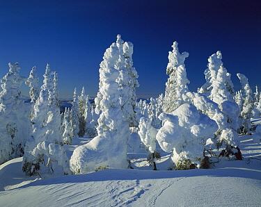 Hoar frost covering spruce forest on Radio Hill, Alaska  -  Matthias Breiter