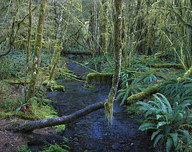 Creek in Hoh Rainforest, Olympic National Park, Washington  -  Matthias Breiter