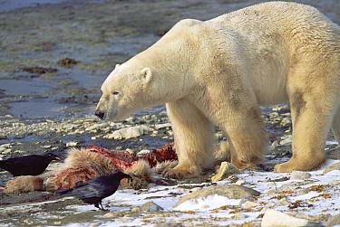 Polar Bear (Ursus maritimus) adult male feeding on carcass of yearling cub, Churchill, Manitoba, Canada  -  Matthias Breiter