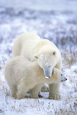 Polar Bear (Ursus maritimus) mother with cub, Churchill, Manitoba, Canada  -  Matthias Breiter