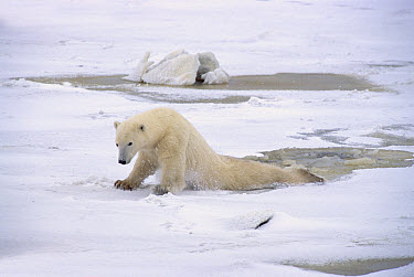 Polar Bear (Ursus maritimus) adult female dragging hind legs to distribute her weight on thin ice, Churchill, Canada  -  Matthias Breiter