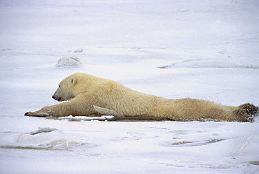 Polar Bear (Ursus maritimus) adult female dragging hind legs to distribute weight evenly on thin ice, Churchill, Canada  -  Matthias Breiter