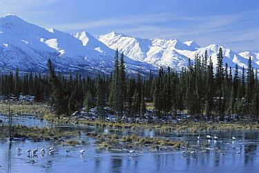 Tundra Swan (Cygnus columbianus) on frozen pond, Alaska Range, Tok, Alaska  -  Matthias Breiter