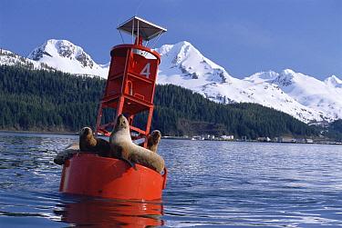 Steller's Sea Lion (Eumetopias jubatus) on buoy, Cordova, Prince William Sound, Alaska  -  Matthias Breiter