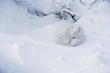 Arctic Fox (Alopex lagopus) curled up in the snow, Churchill, Manitoba, Canada  -  Matthias Breiter
