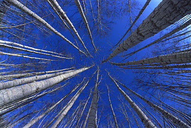 Quaking Aspen (Populus tremuloides) and Birch (Betula sp) trees in winter, Manley Hot Springs, Alaska  -  Matthias Breiter