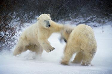 Polar Bear (Ursus maritimus) adult male charging opponent, Churchill, Manitoba, Canada  -  Matthias Breiter