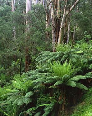 Tree Fern (Dicksonia antarctica) cluster and Eucalyptus trees, Tarra-Bulga National Park, Victoria, Australia  -  Matthias Breiter