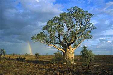 Australian Baobab (Adansonia gregorii) along Tunnel Creek Road with rainbow, Windjana Gorge National Park, Australia  -  Matthias Breiter