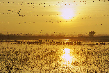 Snow Geese (Chen caerulescens) and Sandhill Cranes (Grus canadensis) on flooded field, sunrise, Bosque del Apache National Wildlife Refuge, New Mexico  -  Matthias Breiter