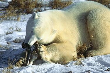 Polar Bear (Ursus maritimus) juvenile chewing on Polar Bear skull, Churchill, Manitoba, Canada  -  Matthias Breiter