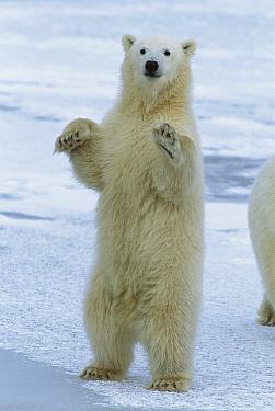 Polar Bear (Ursus maritimus) cub standing, Churchill, Manitoba, Canada  -  Matthias Breiter