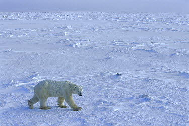 Polar Bear (Ursus maritimus) on ice pack on Hudson Bay, Churchill, Manitoba, Canada  -  Matthias Breiter