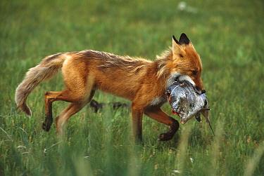 Red Fox (Vulpes vulpes) with Silver Salmon piece stolen from Grizzly Bear (Ursus arctos), Katmai National Park, Alaska  -  Matthias Breiter