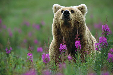 Grizzly Bear (Ursus arctos horribilis) female in field of Fireweed (Chamerion angustifolium), Katmai National Park, Alaska  -  Matthias Breiter