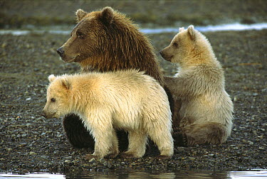 Grizzly Bear (Ursus arctos horribilis) female with her two spring cubs watching another bear attentively, Katmai National Park, Alaska  -  Matthias Breiter