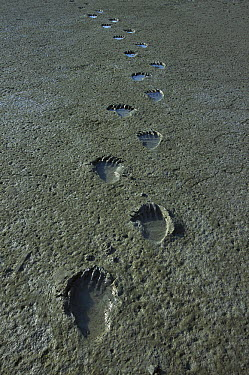 Grizzly Bear (Ursus arctos horribilis) tracks filled with water on mud flats, Katmai National Park, Alaska  -  Matthias Breiter