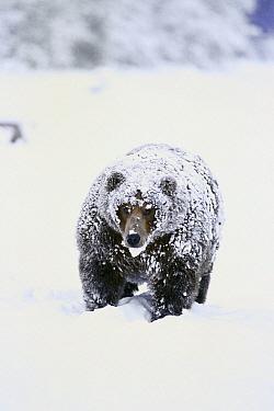 Grizzly Bear (Ursus arctos horribilis) pregnant female with heavy layer of fat covered in snow on shore, Naknek Lake, Katmai National Park, Alaska  -  Matthias Breiter