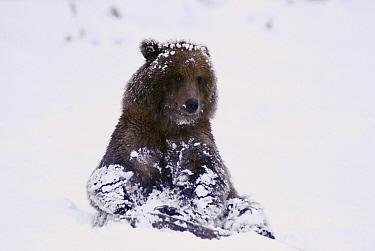 Grizzly Bear (Ursus arctos horribilis) yearling cub playing on shore of Naknek Lake during heavy snowfall, Katmai National Park, Alaska  -  Matthias Breiter