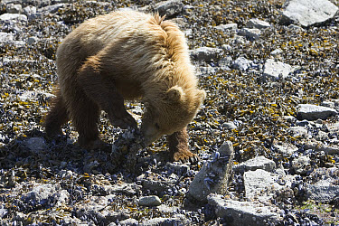 Grizzly Bear (Ursus arctos horribilis) juvenile turning over rocks in search of food at low tide, Katmai National Park, Alaska  -  Matthias Breiter