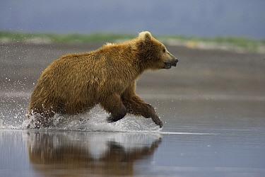 Grizzly Bear (Ursus arctos horribilis) adult female chasing Salmon in shallows, Katmai National Park, Alaska  -  Matthias Breiter