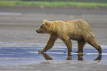 Grizzly Bear (Ursus arctos horribilis) juvenile walking on tidal flats, Katmai National Park, Alaska  -  Matthias Breiter