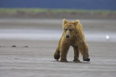 Grizzly Bear (Ursus arctos horribilis) juvenile running from an adult female, Katmai National Park, Alaska  -  Matthias Breiter
