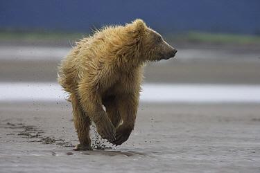 Grizzly Bear (Ursus arctos horribilis) juvenile running from adult female, Katmai National Park, Alaska  -  Matthias Breiter