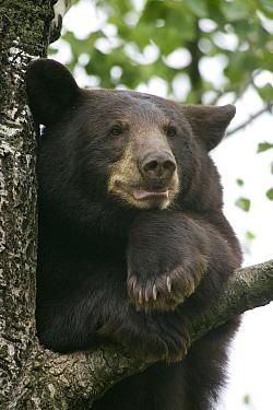 Black Bear (Ursus americanus) juvenile male in tree, Orr, Minnesota  -  Matthias Breiter