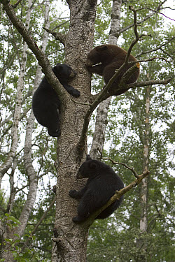 Black Bear (Ursus americanus) three cubs from different litters in a tree together, Orr, Minnesota  -  Matthias Breiter